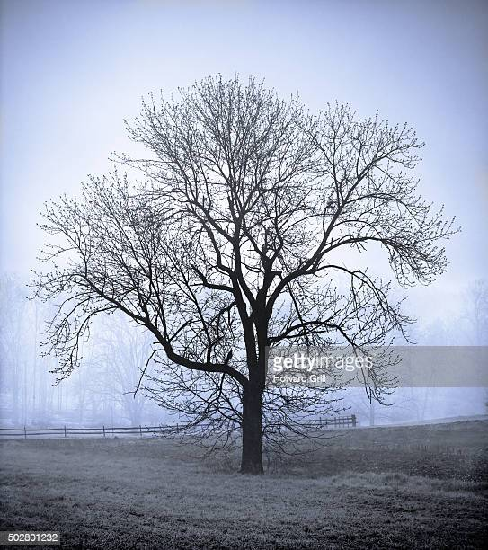 bare tree in field on farm in fog; blue toned - bare tree stock pictures, royalty-free photos & images