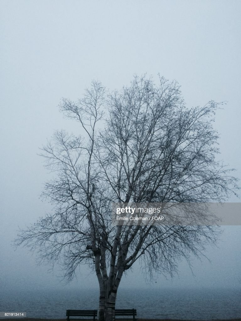 Bare tree in foggy weather : Stock Photo
