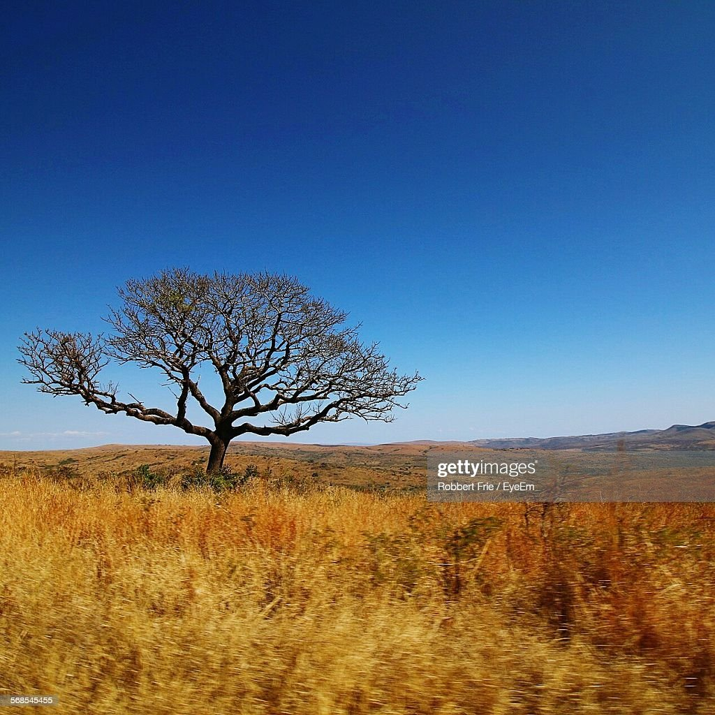 Bare Tree On Grassy Field Against Clear Blue Sky : Stock Photo