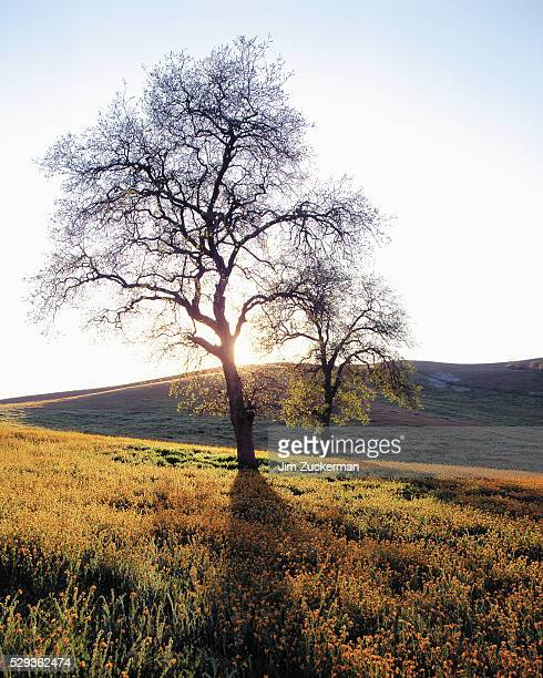 bare tree on hillside - calabasas stock photos and pictures