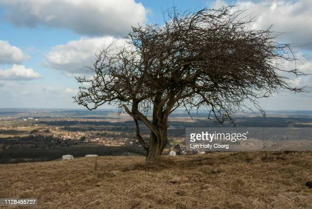 bare tree on south downs way in east sussex british countryside - lyn holly coorg stock pictures, royalty-free photos & images