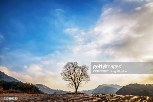 a bare tree on the hill - gangwon province stock pictures, royalty-free photos & images