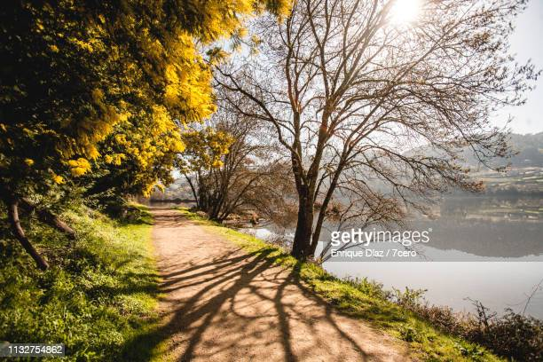 bare tree silhouette on miño river - riverbank stock pictures, royalty-free photos & images