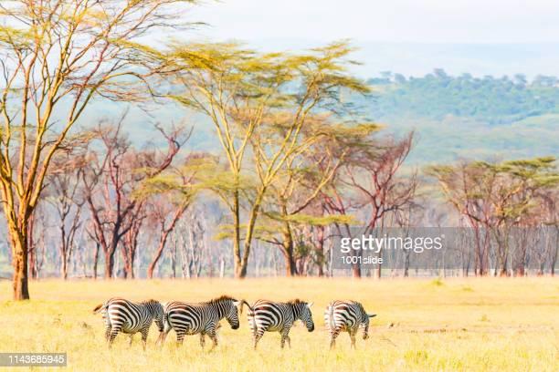 bare trees and zebras at lake nakuru wild - nakuru stock photos and pictures