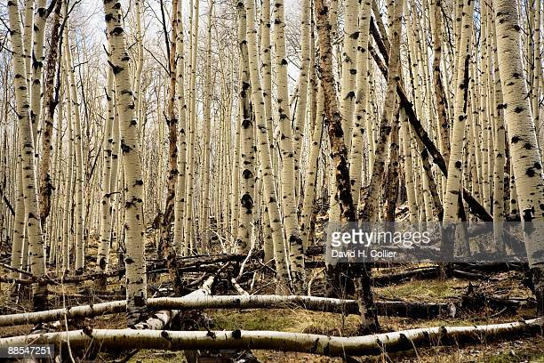 Bare trees, Aspen, Colorado