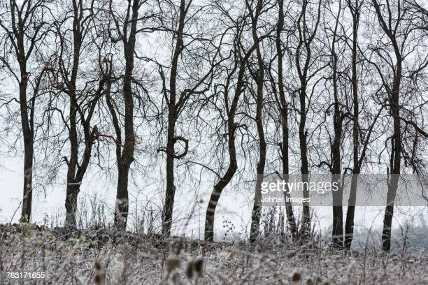 Bare trees at winter