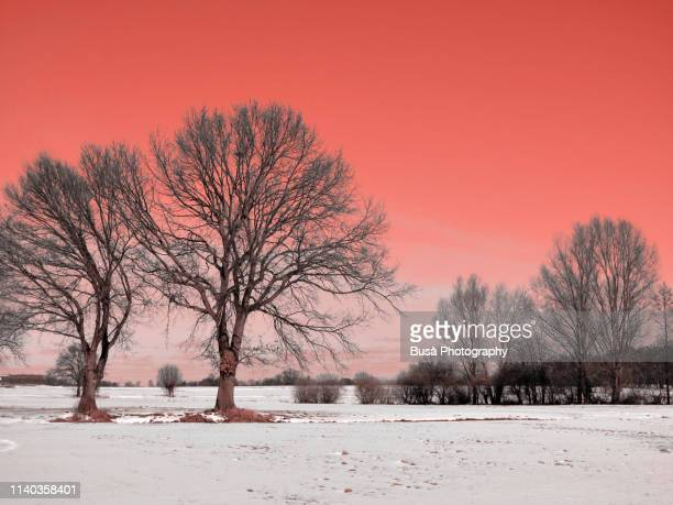bare trees in a snowy landscape (image manipulated with pantone living coral color of the year 2019) - 2010 2019 stock pictures, royalty-free photos & images