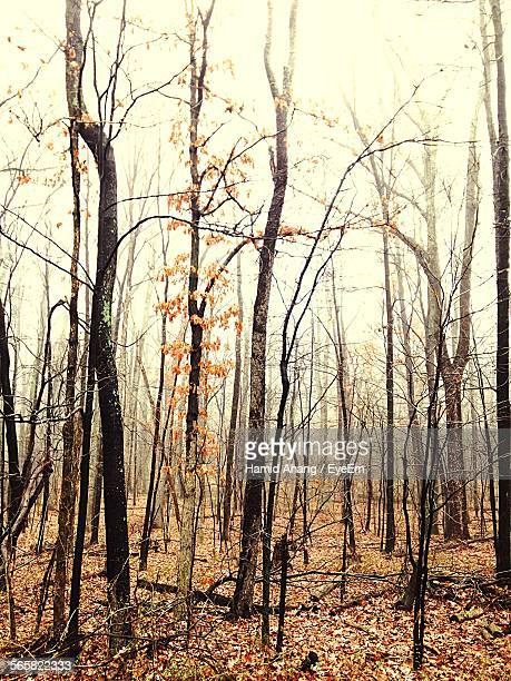 Bare Trees In Autumn Forest