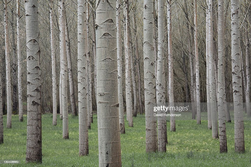 Bare trees in field : Stock Photo