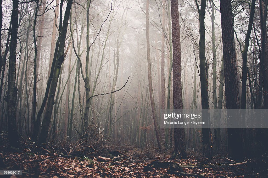Bare Trees In Foggy Forest : Stock Photo