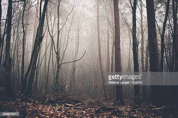 bare trees in foggy forest - kahler baum stock-fotos und bilder