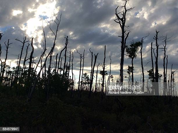 Bare Trees In Forest At Dusk