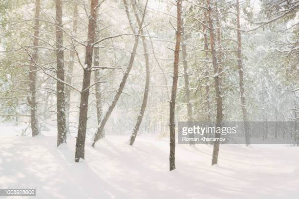 bare trees in snow - snow squall stock photos and pictures