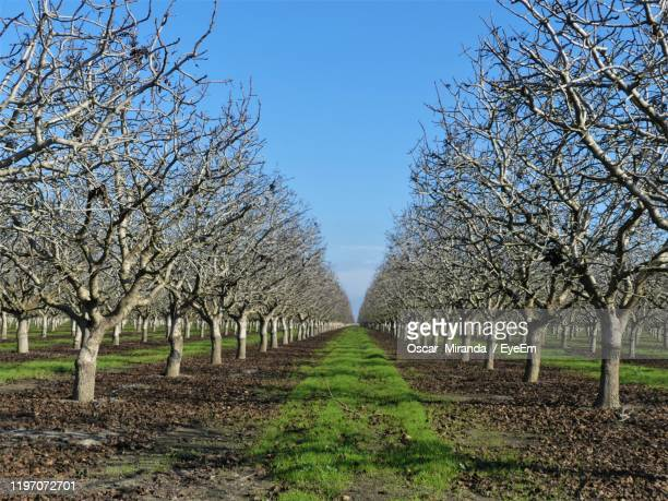 bare trees on field against clear blue sky - bare tree stock pictures, royalty-free photos & images