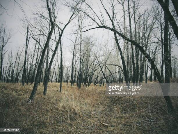 bare trees on field in forest - bare tree stock pictures, royalty-free photos & images