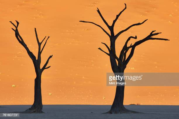 Bare trees standing in front of sand dune.