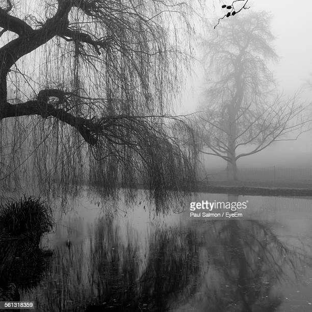 Bare Weeping Willow Tree Reflected On Water In Misty Dawn