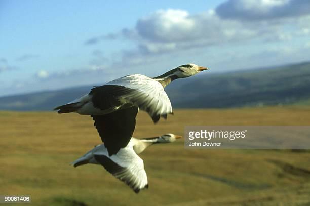 bar-headed geese, anser indicus, in flight - グレイグース ストックフォトと画像