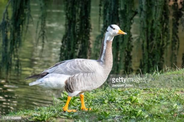 bar-headed goose - グレイグース ストックフォトと画像