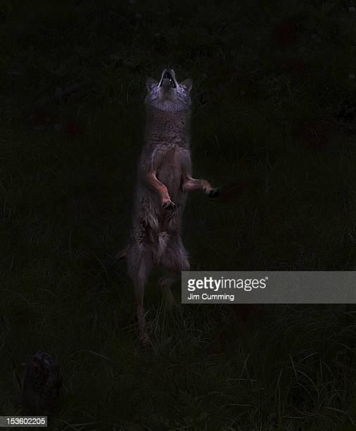 Bark at moon