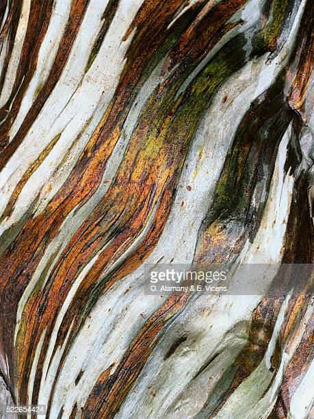 bark of a snow gum tree - eucalyptus tree stock pictures, royalty-free photos & images