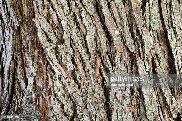 bark of a willow, Salix
