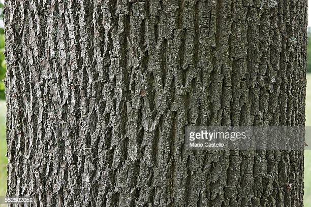 bark of an ash tree