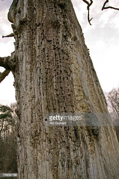 Bark of dead Elm tree Sherbourne Gloucestershire United Kingdom
