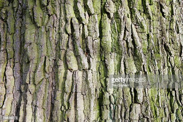 Bark of dead oak tree Sherbourne Gloucestershire United Kingdom