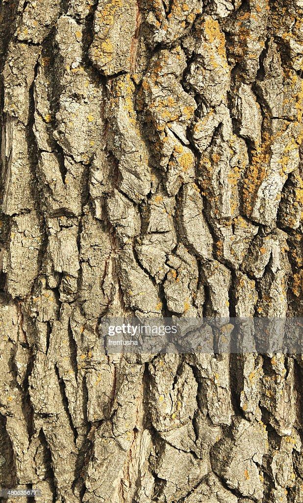 Bark of oak : Stock Photo
