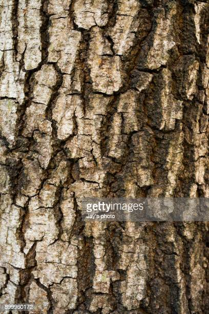 Bark of tree texture background