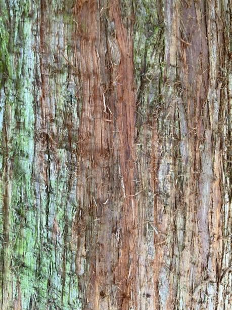 Bark of western Red Cedar Tree (Thuja plicata)