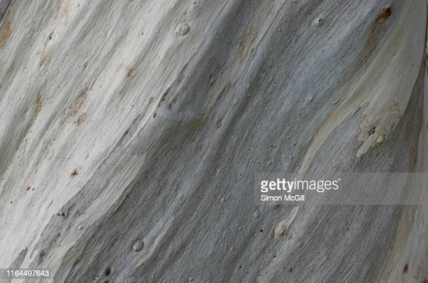 bark on a snow gum (eucalyptus pauciflora) tree trunk - mottled skin stock pictures, royalty-free photos & images