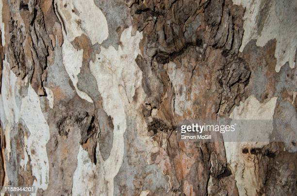bark on the eucalyptus tree trunk - mottled skin stock pictures, royalty-free photos & images