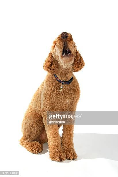 bark - standard poodle stock photos and pictures