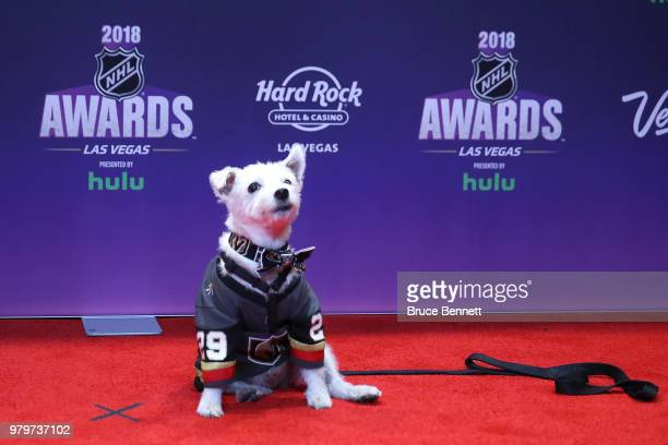 BarkAndre Furry a Jack Russell terrier named after Vegas Golden Knights goaltender MarcAndre Fleury arrives at the 2018 NHL Awards presented by Hulu...