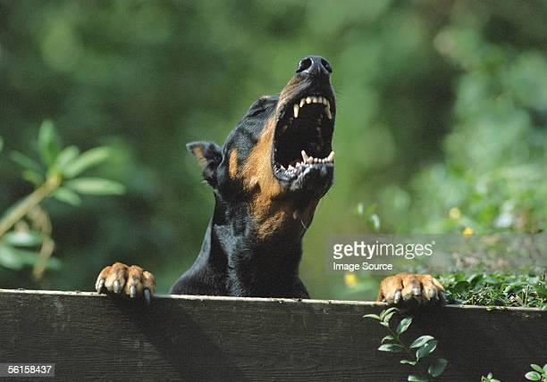 barking doberman - doberman pinscher stock pictures, royalty-free photos & images
