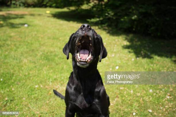 barking dog - aggression stock photos and pictures
