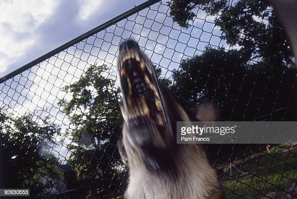 A Barking German Shepherd In Front Of A Fence
