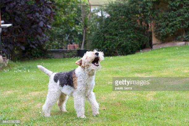 barking - bark stock pictures, royalty-free photos & images