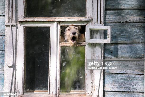 barkling fluffy dog in retro window in summer suzdal - guarding stock pictures, royalty-free photos & images