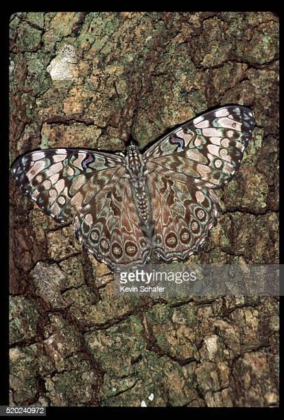 bark-mimic butterfly on bark - parque nacional de santa rosa fotografías e imágenes de stock
