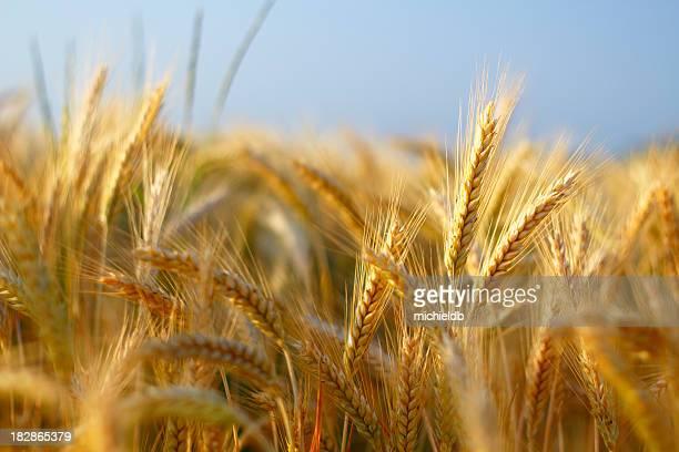 barley closeup - barley stock pictures, royalty-free photos & images