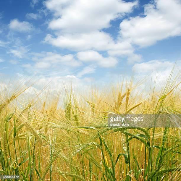 XL barley close-up