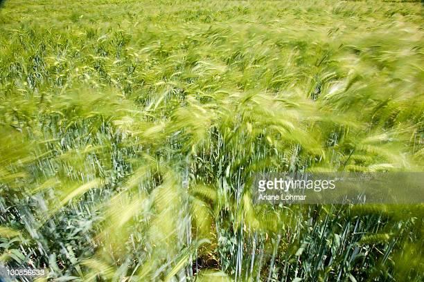 Barley (Hordeum vulgare), ears of corn, wind, field