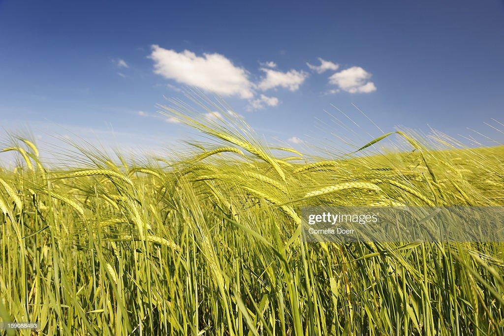 Barley ears, San Quirico d'Orcia, Siena : Stock Photo
