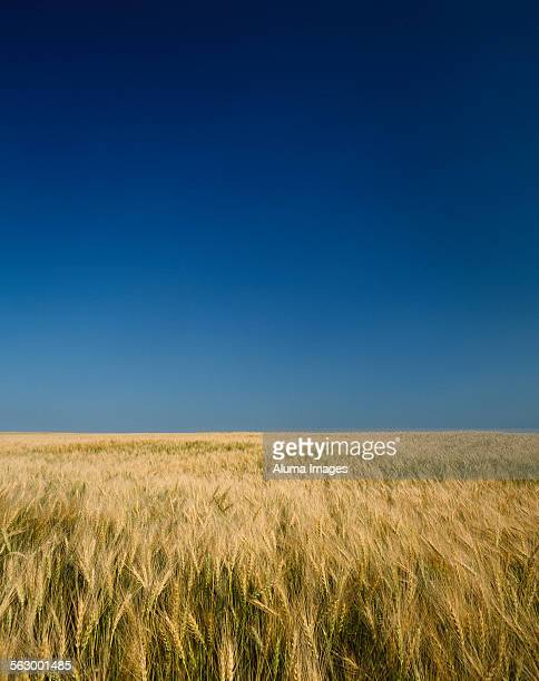 barley field and blue sky - canadian prairies stock photos and pictures