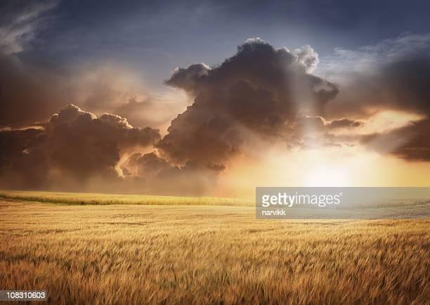 Champ d'orge et de ciel nuageux à la lumière du coucher du soleil