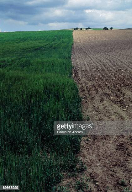 Barley field and plowed earth View of a barley field to a side the earth is plowed