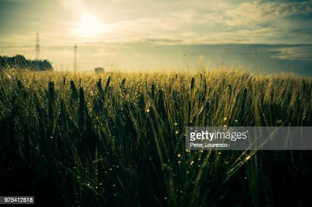 Barley field in countryside, Gunma Prefecture, Japan